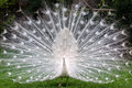 White Peacock Stock Images - 24641994