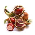 Horse Chestnut Royalty Free Stock Photography - 24652867