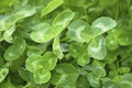 Green Clover Royalty Free Stock Image - 24663046