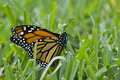 Monarch In The Grass2 Royalty Free Stock Images - 24663869