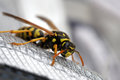 Wasp On A Shoe Stock Photos - 24665683