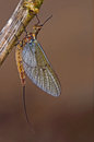 The Mayfly That May Fly Royalty Free Stock Images - 24668279