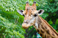 Giraffe Head Royalty Free Stock Photos - 24668918