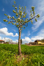 Pear Tree In A Garden Royalty Free Stock Photography - 24672217