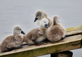 Family Of Cygnets Huddled Together Stock Photos - 24676183
