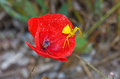 Yellow Spider On Red Flower Royalty Free Stock Photo - 24679735