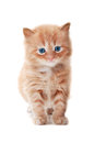 Ginger Kitty With Blue Eyes Royalty Free Stock Photography - 24680467