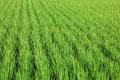 Paddy Rice In Field Stock Photos - 24683543