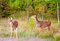 Two Deer Just Emerging From The Forest Stock Images - 24684274