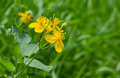 Greater Celandine In Time Of Flowering Royalty Free Stock Photo - 24684795