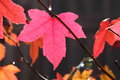 Pink Fall Leaf Maple Tree Stock Photo - 24688790
