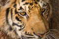 Tiger Face Stock Images - 24693124