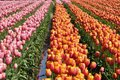 Tulip Field Royalty Free Stock Photography - 24699877