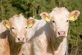 Two Cows Stock Photography - 2478712