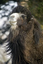 Bactrian Camel Royalty Free Stock Images - 2479299