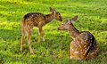 Deer Family With Baby N Mother Of Deers Stock Photos - 24700083