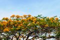 Tree With Yellow Flower And Sky Royalty Free Stock Photo - 24701135