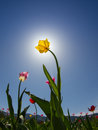 Yellow Tulip On Field Royalty Free Stock Image - 24705386