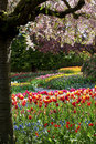 Beautiful Tulips In Full Bloom Stock Photo - 24707570