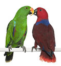 Male And Female Eclectus Parrots Royalty Free Stock Photos - 24708608