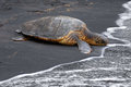 Black Sand And Sea Turtle Stock Images - 24722514