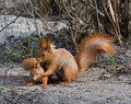 Squirrel And Its Joey Stock Images - 24724344