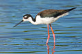 Black-necked Stilt Stock Photo - 24743040