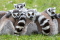 Ring-tailed Lemur (Lemur Catta) Stock Images - 24759284
