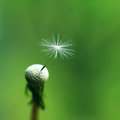 Dandelion Flower Macro Stock Photos - 24768973