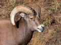 Portrait Of A Young Ram Stock Photography - 2483982