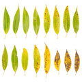Tree Leaves Isolated On White Background Royalty Free Stock Photos - 24801078