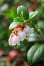 Cowberry Flowers Royalty Free Stock Photography - 24807027