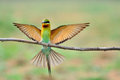 Blue Tailed Bee Eater Royalty Free Stock Photography - 24814497