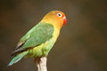 Parrot Royalty Free Stock Photography - 24824017