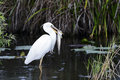 Great White Heron (a.k.a. Great Blue Heron) Royalty Free Stock Photography - 24825327