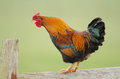 Domestic Fowl Royalty Free Stock Images - 24829979