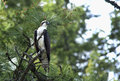 Osprey Perched On Tree. Royalty Free Stock Images - 24830909