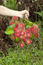 Bunch Of Negrito Fruit On Hand Stock Photo - 24832630