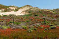 Spring Flowers And Sand Dunes In Big Sur Royalty Free Stock Images - 24840219