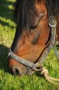 Horse Eating Grass Royalty Free Stock Image - 24853696