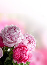 Peonies Card Royalty Free Stock Photo - 24856845