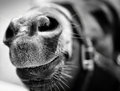 Horse Nose Royalty Free Stock Photo - 24863685