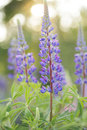 Wild Lupines Royalty Free Stock Images - 24864319