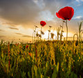 Wild Poppies Morning Stock Images - 24869504