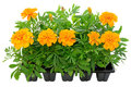 Tagetes Flower Seedlings In Containers Stock Photography - 24870442