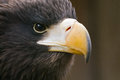 Steller S Sea Eagle Royalty Free Stock Photography - 24885367