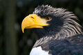 Stellers Sea Eagle Royalty Free Stock Photo - 24885375