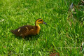 Baby Duck Stock Photography - 2498822