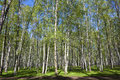 Birch Forest Royalty Free Stock Photo - 24907465