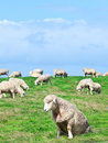 Sheeps Royalty Free Stock Images - 24930819